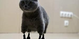 В Новосибирске кошке установили протезы на все четыре лапы