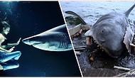 Okyanusların Korkulu Rüyaları Köpek Balıklarını Bile Dize Getirilebilen Bir Rahatsızlık: Tonik Hareketsizlik Etkisi