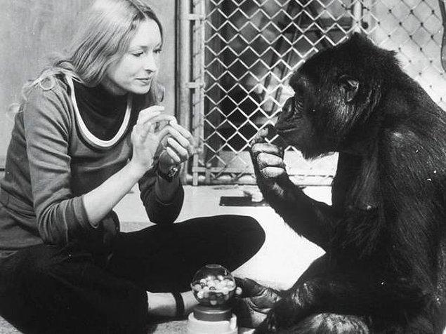 İnsanlara en yakın tür olarak geçse de şempanzelerin ses telleri insanlarda olduğu gibi bir işleve sahip değil.