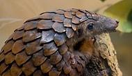 Китайские ученые считают, что коронавирус передается через панголинов