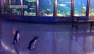 В американском аквариуме, закрытым из-за коронавируса, пингвинов выпустили на прогулку
