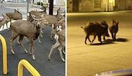 Вторжение животных в города, где объявлен карантин из-за коронавируса
