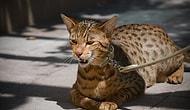 6 самых дорогих пород кошек в мире