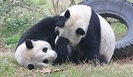 Карантин сделал то, что не удалось сделать специалистам в зоопарке: две панды впервые спаривались за 10 лет
