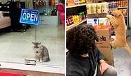10 кошек в магазинах, которые ведут себя как хозяева этих заведений