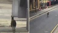 Кенгуру разгуливает по пустым улицам Австралии