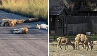Животные возвращаются в города, в то время, как люди изолированы в своих домах
