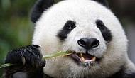 Канада возвращает двух гигантских панд в Китай, поскольку не могут найти достаточное количество бамбука