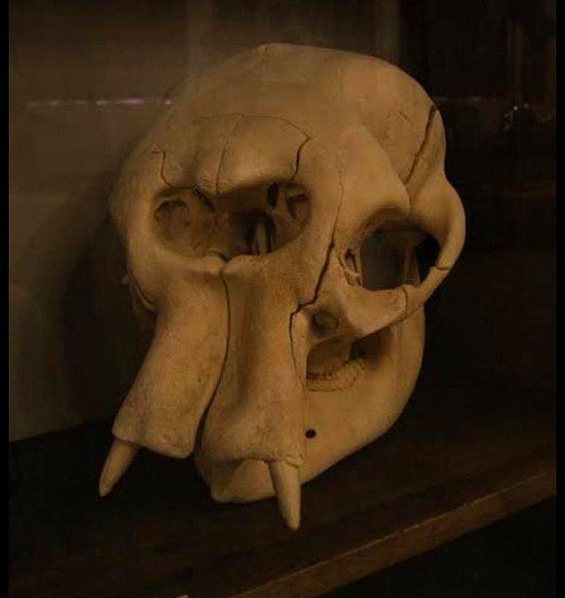 15. Bu bir fil kafatası.