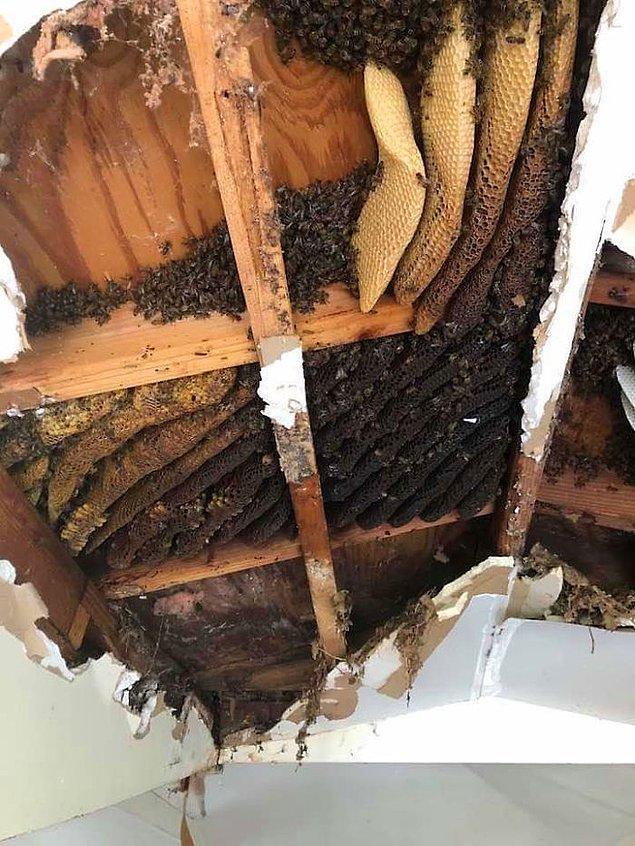 6. Toplanmış bal peteklerine hücum eden arılar: