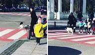 Пес, который каждый день приходит на эту улицу, чтобы помощь дошколятам перейти улицу