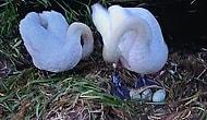 Самка лебедя умерла от горя после того, как ее гнездо было разрушено подростками