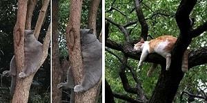 30 кошек демонстрируют свои навыки в искусстве сна в неудобной позе на деревьях