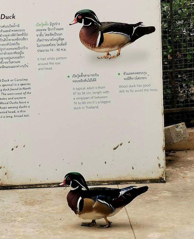 18. Ördek kendi tabelasını ziyaret ederken yakalanmış.