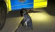 В Англии патрульные обнаружили пингвина, не спеша прогуливающегося вдоль дороги