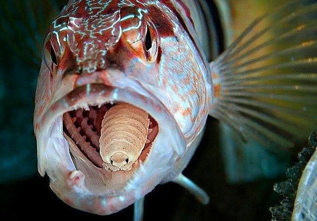 3. İçine girdiği balıkların dilini yiyen ve o balık öldükten sonra diğer balıklarda yaşamaya devam eden ürkütücü parazit: