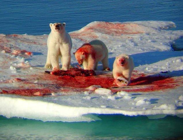 12. Hep tatlı görmeye alışkın olduğumuz kutup ayıları: