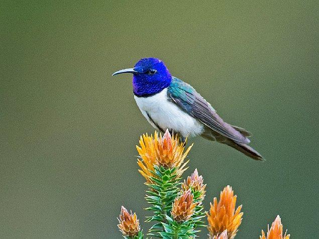 Kuş türleri çoğunlukla 2 ila 8 khz ses frekansında sahip olurken, bu özel tür 16 khz frekansa kadar çıkabiliyor.