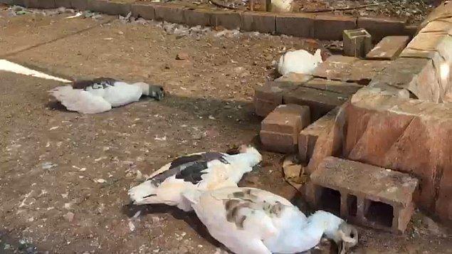 Bir süre sonra sıcak havanın da etkisiyle açlık ve susuzluktan kazların tamamı, tavukların da bir kısmı öldü.