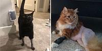 30 самых милых фото кошек, которым сделали смешные стрижки для операции