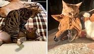 20 самых смешных фото кошек, которые терроризируют и раздражают собак