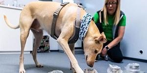В Финляндии обученные собаки определяют коронавирус по запаху, и это надежнее, чем тесты ПЦР
