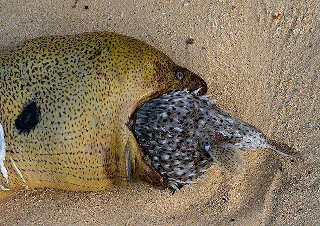 9. Müren balığı, balon balığını yemeye çalışırken: