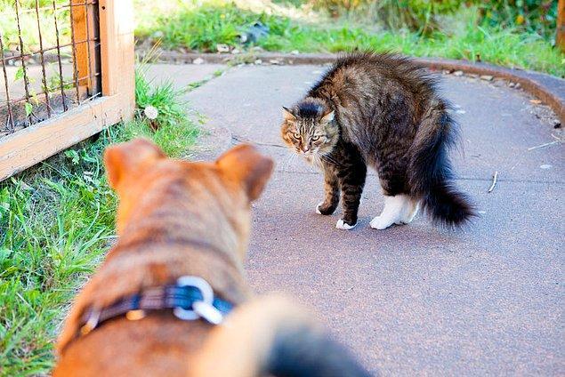 Örneğin kediler tehdit algıladıklarında kendilerini daha büyük göstermek için tüylerini kabartırlar.