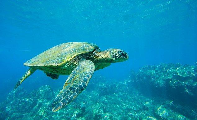 9. Deniz Kaplumbağası