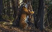 Россиянин Сергей Горшков стал Лучшим фотографом дикой природы в 2020 году за фото амурского тигра