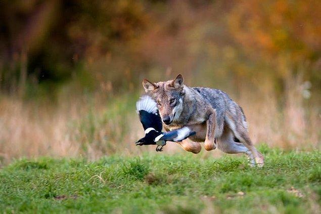 17. Kurtlar genellikle büyük hayvanları avlarlar ama anlaşılan bu kez öyle olmamış!