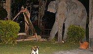 Домашний котенок прогнал четырехтонного слона, который забрел в его сад в поисках еды в Таиланде