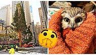 У Рокфеллер-центра в Нью-Йорке установили рождественскую елку с сюрпризом: в ее ветвях обнаружилась настоящая крошечная сова (5 фото)
