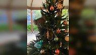 Такое может быть только в Австралии! Семья обнаружила в доме коалу на ветках рождественской елки