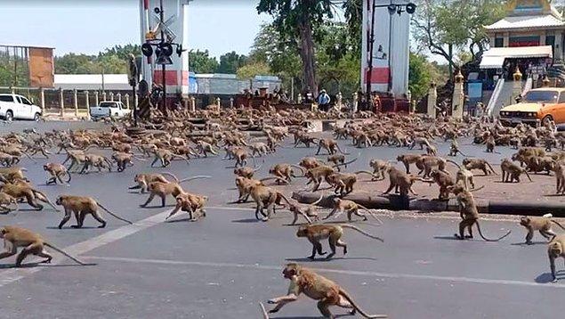 1. Sokaklarda vahşi maymun saldırısına uğrayabilirsiniz.