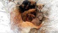 Осиротевшие щенки были найдены рядом с телом своей замороженной матери в Сибири, и теперь спасатели ищут для них новые дома