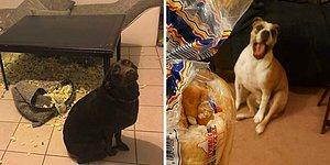 Ну как тут злиться: Люди делятся фотографиями своих непослушных собачек, которые в чем-то провинились