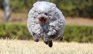 Необычный японский пудель напоминает овцу из-за о-очень пушистой шерсти