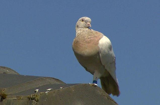 Tarım Bakanlığı, koronavirüs riski nedeniyle güvercinin itlaf edilmesi gerektiğini belirtti