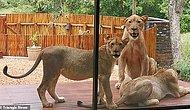 Семейная пара обнаружила стаю отдыхающих львов во дворе своего поместья в Южной Африке