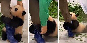 Видео, на котором детеныш панды отказывается отпускать смотрителя зоопарка и отчаянно цепляется за его ногу, бьет рекорды просмотров на Youtube