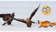 Японский фотограф запечатлел достойную голливудского блокбастера схватку лисы и орлов за ужин (спойлер: лиса победила!)