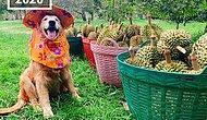 Знакомьтесь с золотистым ретривером из Таиланда, который работает на ферме и собирает...дурианы! (14 фото)