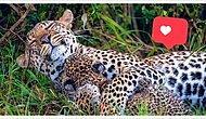 Фотограф дикой природы запечатлел маму-леопарда, трогательно обнимающую своего малыша, и это воистину редкие кадры (5 фото)