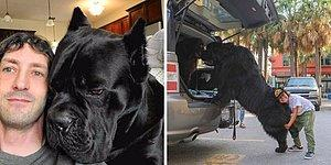 15 самых огромных собак, которые не осознают того, насколько они большие (Часть 1)