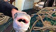 Balon Balığı Gemi Kaptanını Öldürdü, Dört Denizci Hastanelik Oldu