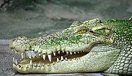 В Австралии в желудке 4 метрового крокодила были обнаружены человеческие останки