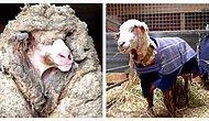 Гора с плеч: в Австралии спасли заблудившуюся в лесу овечку и состригли с нее 35 кг шерсти