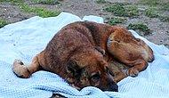 Hasta Diye Veterinere Götürülen Köpeğin Vücudunda Yüzlerce Saçma Bulundu