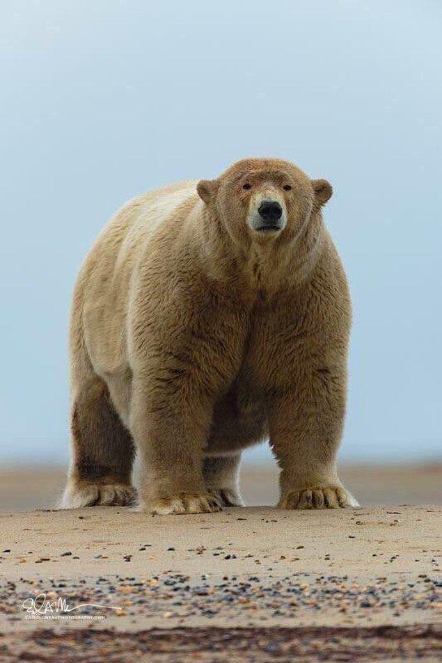 """7. """"Devasa kutup ayısı:"""""""